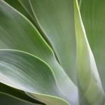 The Versatile Century Plant