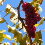 Franciscan Grapes for Authentic Wine