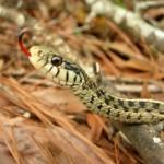 Garter Snakes in My Garden