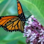 The Essential Milkweed